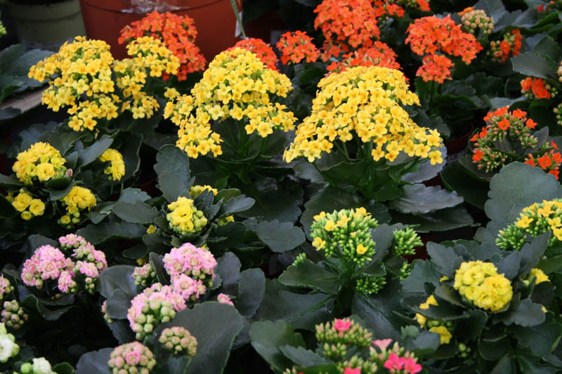 pollen flower allergens
